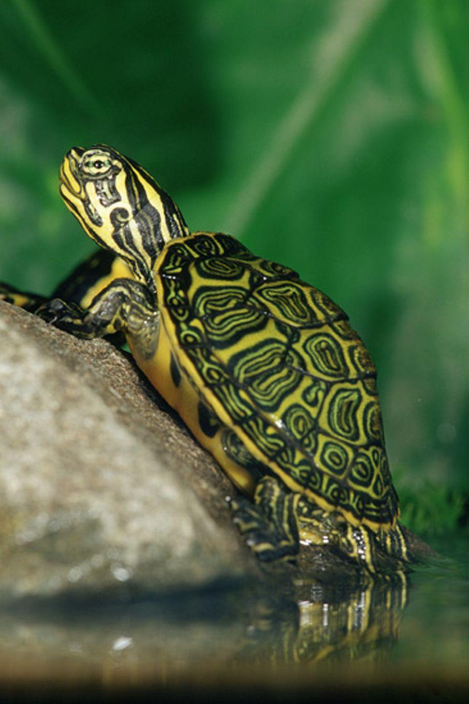 Tierkinder: Ein Sumpfschildkrötenjunges wärmt sich in der Sonne