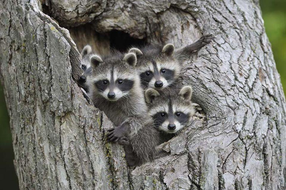 Tierkinder: Junge Waschbären blicken aus ihrem Nest