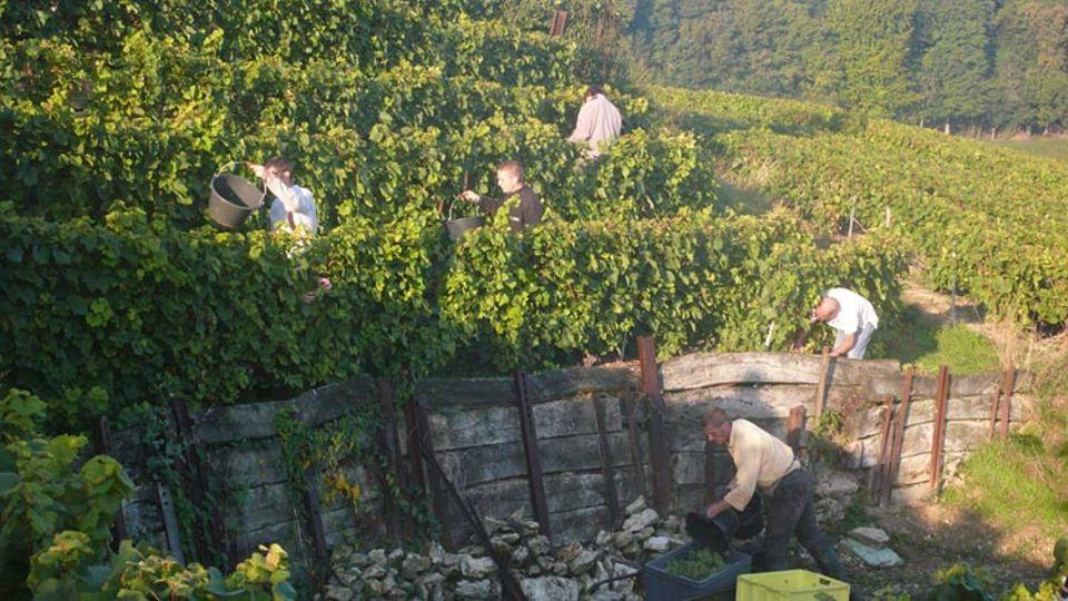 Die meisten der Weinleser sind seit Jahren dabei – die Weinernte in der Champagne ist ein harter, aber begehrter Job