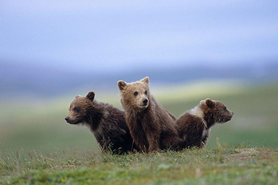 Tierkinder: Kleine Braunbären halten Ausschau nach ihrer Mutter