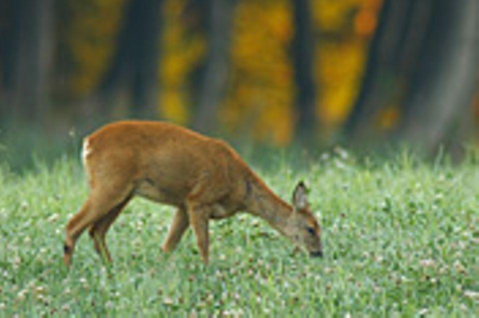 """""""Große Wildbestände schaden dem Wald"""""""
