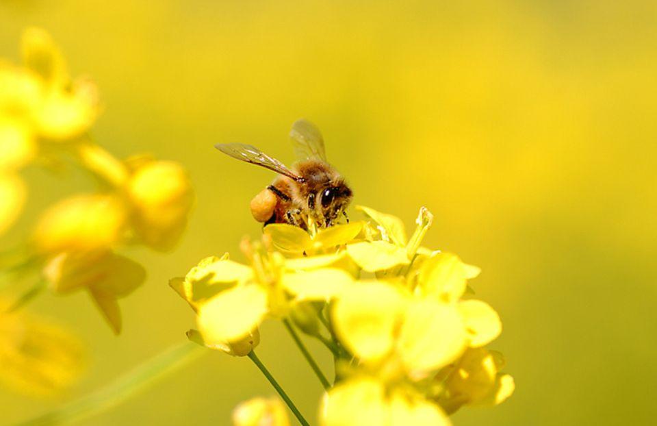 Magisch anziehend: Raps verführt Insekten