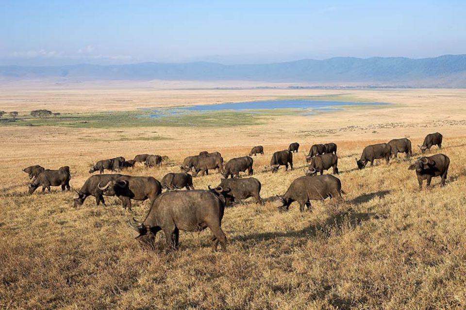 """Straßenpläne: Ziehende Tierherden - hier Wasserbüffel - sind das """"Markenzeichen"""" der Serengeti"""