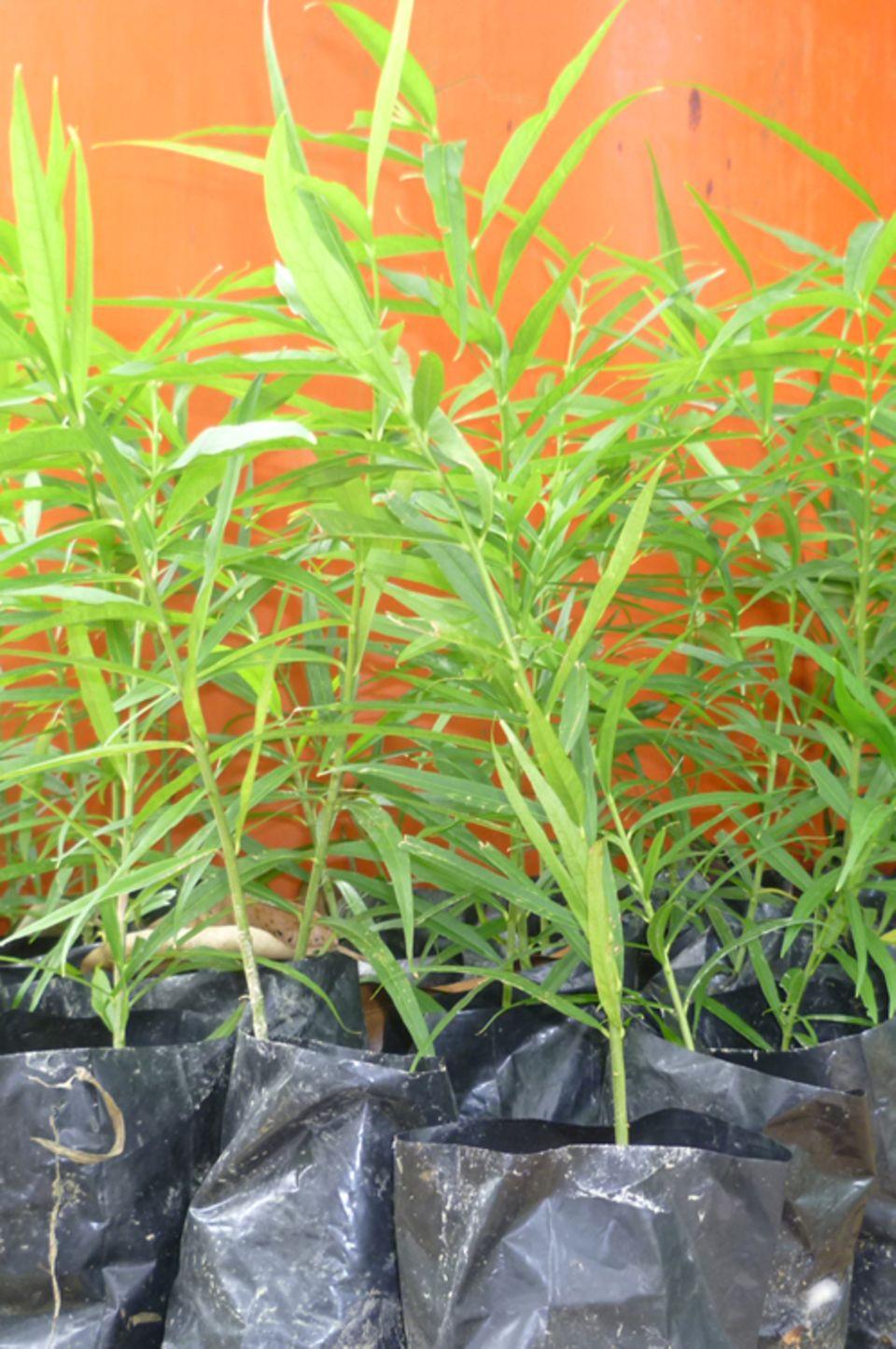 Selten und kostbar: Diese Gaharu-Setzlinge warten darauf, gepflanzt zu werden