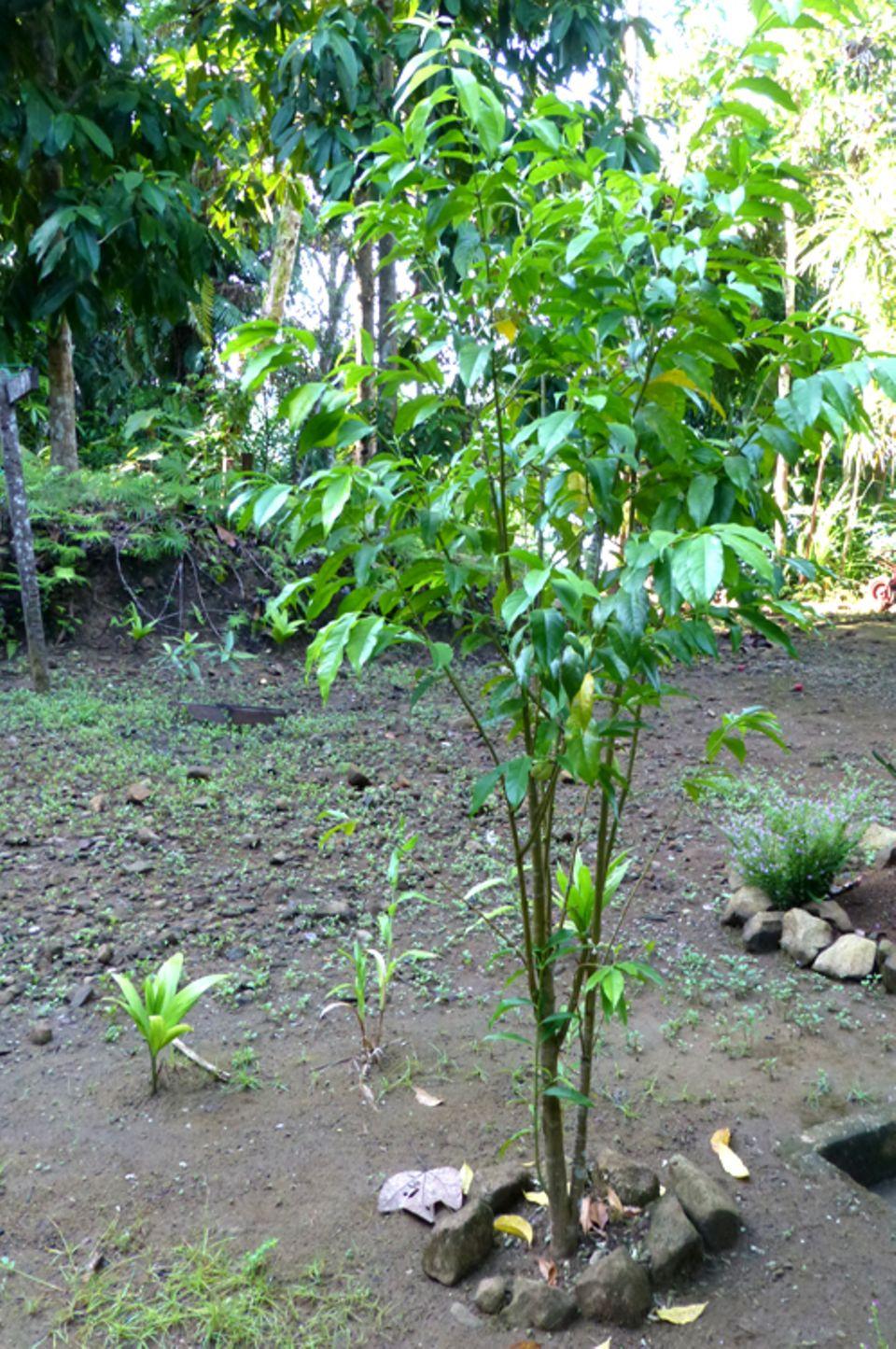 Ein 18-monatiger Gaharu-Baum aus dem Projekt