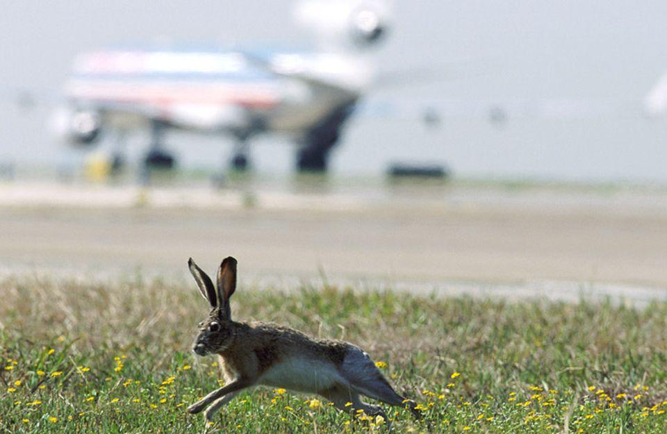 Tier und Technik: Hasen bevorzugen weite, offene Graslandschaften. Die finden sie auch auf Flughäfen