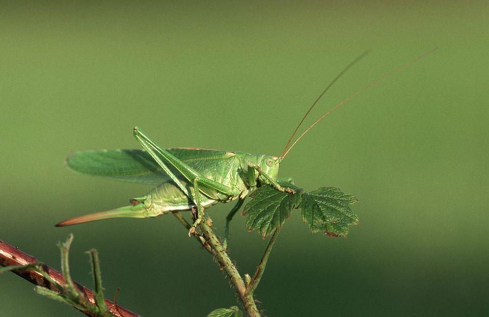 Natur im Sommer: Wahre Sangeskünstler: Heuschrecken
