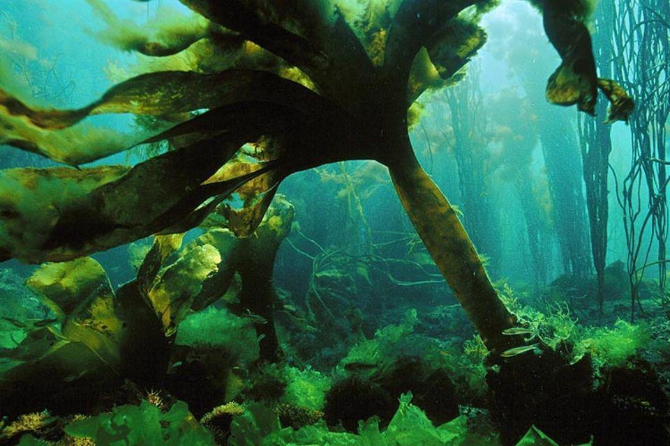 Algen: Die Braunalge Laminaria lebt im flachen Meerwasser. Als kulinarische Spezialität wird sie vor allem in Frankreich geschätzt