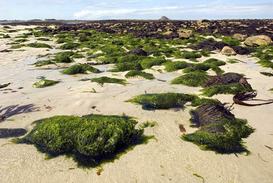 Algen: Algenplage: Seit Juli mussten wieder 32.000 Kubikmeter Algen von zahlreichen Stränden der Bretagne beseitigt werden