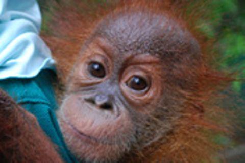 Sumatras letzte Orang-Utans