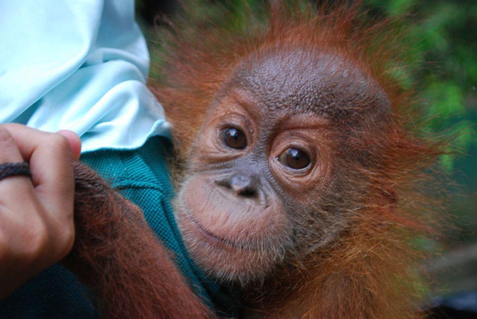 Etwa 50 Prozent aller auf Sumatra lebenden Orang Utans werden in Gefangenschaft gehalten, meist unter jämmerlichen Bedingungen