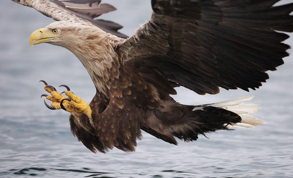 Das GEO-Titelfoto: ein Seeadler, den Fisch fest im Blick, kurz vorm Zugreifen