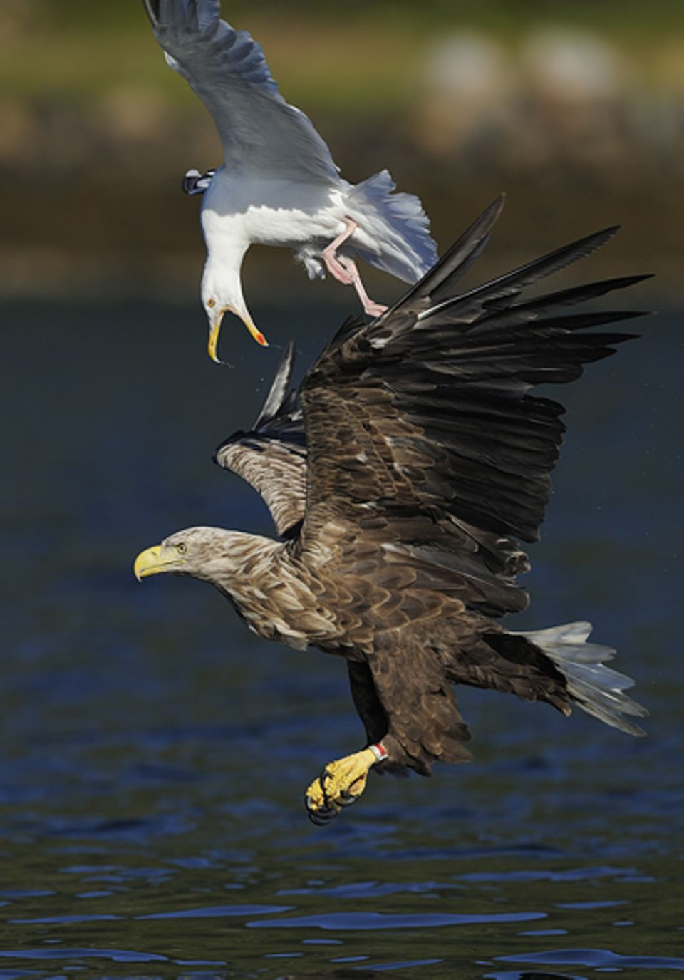 Seeadler und Möwe sind Fressfeinde. Wenn eine Möwe einen Fisch gefangen und verschluckt hat, nimmt ein Seeadler die Verfolgungsjagd auf, bis die Möwe den Fisch wieder hervorwürgt und der Seeadler ihn sich schnappen kann. Auf diesem Bild scheint es ausnahmsweise mal umgekehrt zu sein