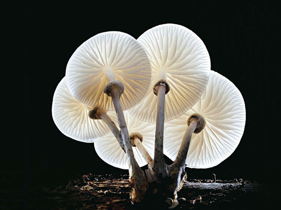 Pilze: Er sieht hübscher aus, als sein Name klingt. Den verdankt der Buchenschleimrübling seinem glitschigen Hut