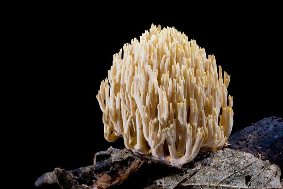 Pilze: Ohne Schirm und Stiel sprießt die Steife Koralle zwischen Hochsommer und Herbst im Unterholz von Nadelwäldern. Wie alle Pilze ist sie näher mit Tieren als mit Pflanzen verwandt
