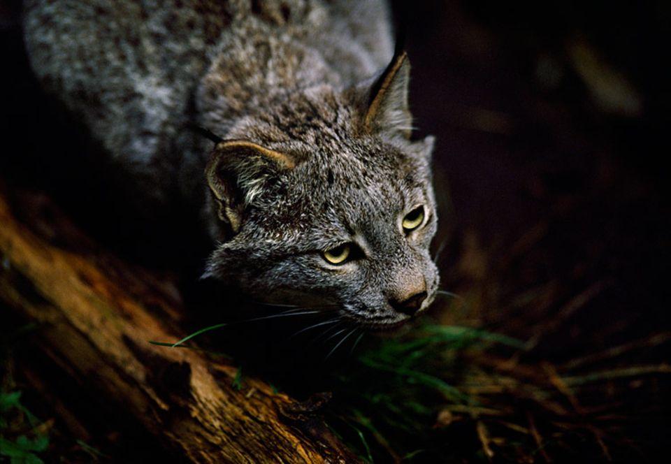 Wildpark: Gute Augen und ein scharfes Gehör helfen dem Luchs in der Dunkelheit