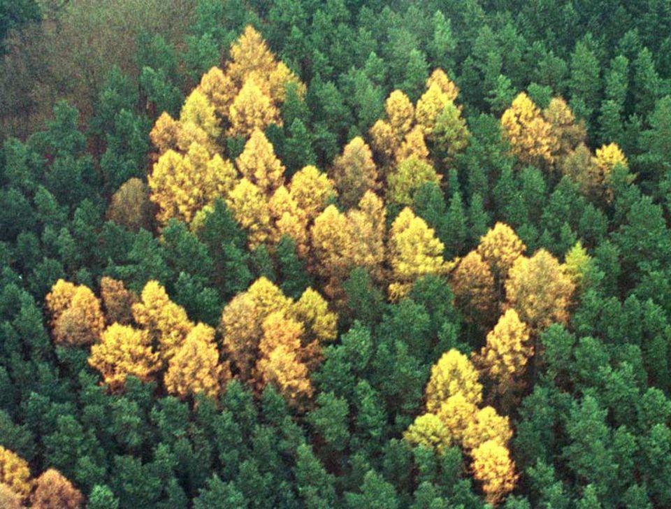 Rechte Ökos: Im Wald von Zernikow ließ 1938 ein linientreuer Förster Lärchen in Form eines 60 mal 60 Meter großen Hakenkreuzes anpflanzen. Die Forstverwaltung schritt erst im Jahr 2000 ein und ließ die Bäume fällen