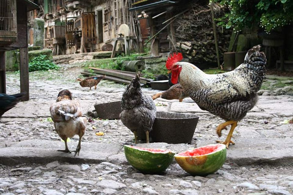 "Naturtalente: Besser geht's nicht: Dählings Hühner kann man wohl ""glücklich"" nennen"