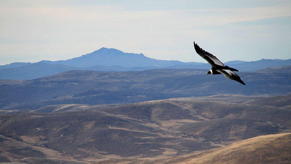 Bis heute geht die Population der größten flugfähigen Vögel Südamerikas zurück