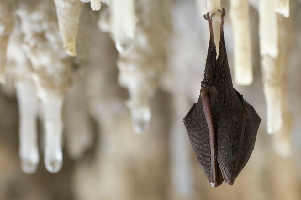 Tropfsteinhöhlen: Geräumige Deckengewölbe bieten Fledermäusen einen Schlafplatz