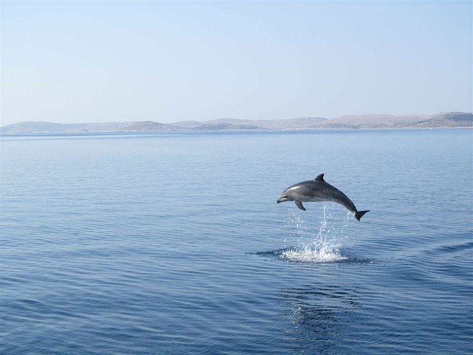 Bei einem Segeltörn in der Nähe der kroatischen Insel Pašman fotografierte GEO-Leser Peter Schmidtbauer aus Stuttgart diesen Delfin bei einem zirkusreifen Sprung und gewinnt mit der Aufnahme den GEO.de-Wettbewerb im November