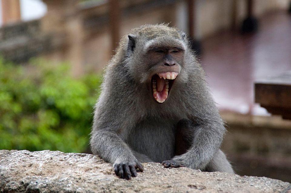 Redewendung: Dieser Affe macht ganz schön Theater!