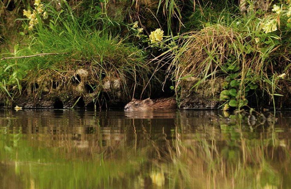 Invasive Arten: Bisamratte: Im Bayerischen Wald konnte der Fischotter nur dank dieses Einwanderers aus Nordamerika überleben