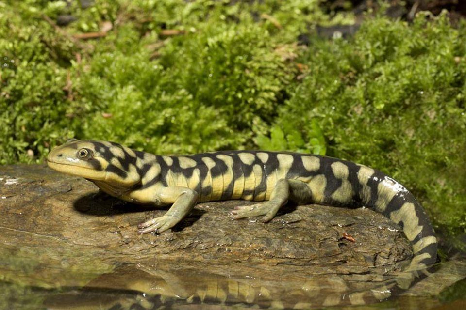 Ökologie: Forscher konnten nachweisen, dass Tigersalamander (Ambystoma tigrinum) schrumpfen - wegen des Klimawandels