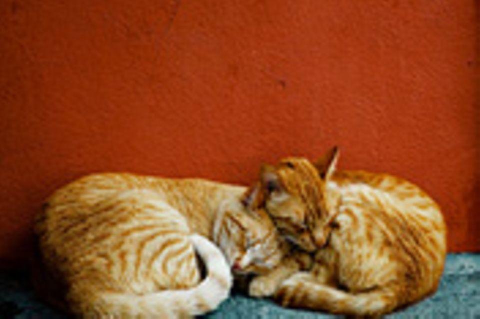 Schiebepuzzle: Katzen