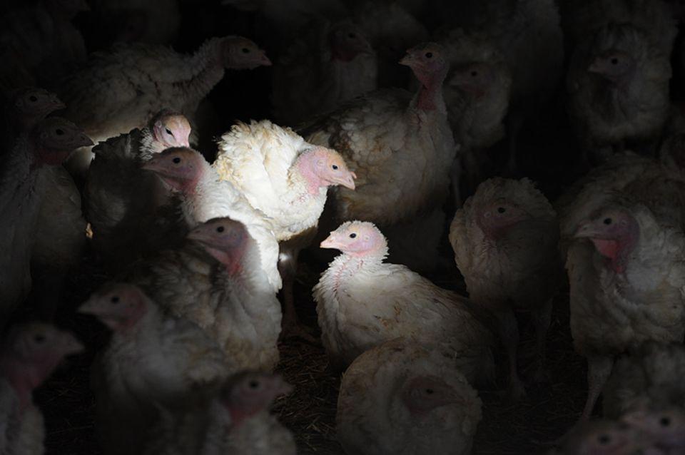 Massentierhaltung: Ohne den Einsatz von Antibiotika würden viele Tiere selbst die kurze Mastzeit nicht überleben