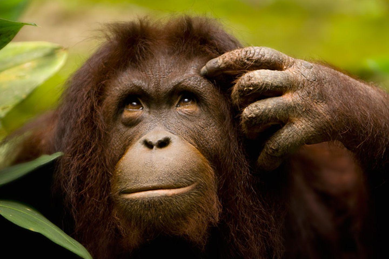 Tiere: Wie viel Grips haben eigentlich Affen? Dieser Orang-Utan sieht jedenfalls sehr nachdenklich aus
