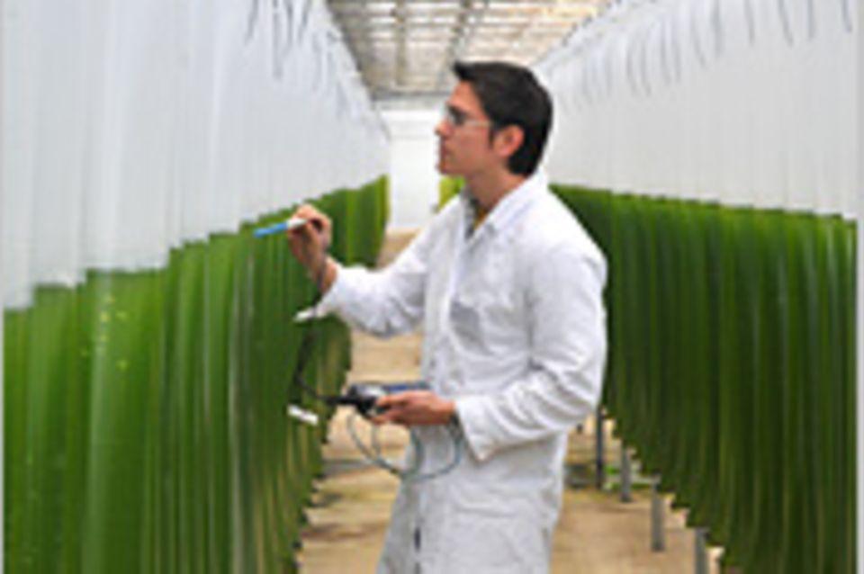 Erneuerbare Energien: Biogas aus der Algenfabrik