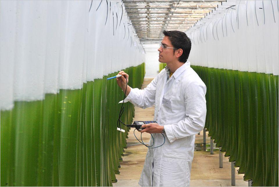Erneuerbare Energien: Das Gewächshaus der Zukunft? In transparenten PVC-Schläuchen reifen einzellige Meeresalgen heran