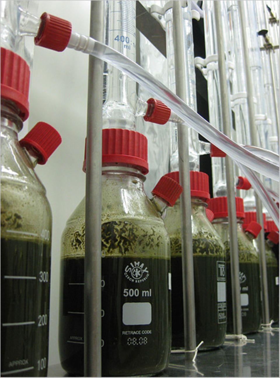 Erneuerbare Energien: Im Labor wird der Biogas-Ertrag verschiedener Algensubstrate ermittelt