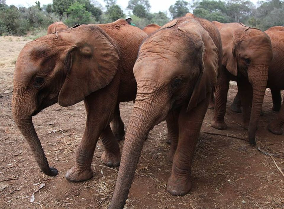 Der Regenwald rund um den Mount Kenya ist die Heimat von ca. 2000 Elefanten. Auch sie gilt es vor Großwildjägern zu schützen