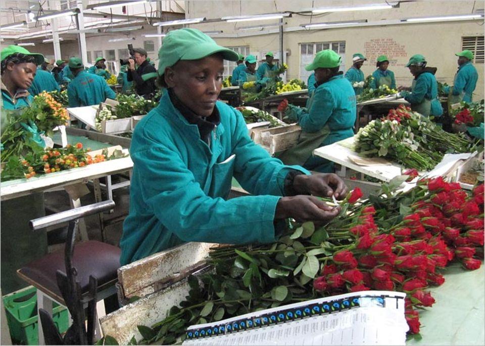 Rund 40 Prozent der Rosen, die bei uns zum Verkauf angeboten werden, stammen aus Afrika. Einige von ihnen hat Ann Chapkirui versandfertig gemacht