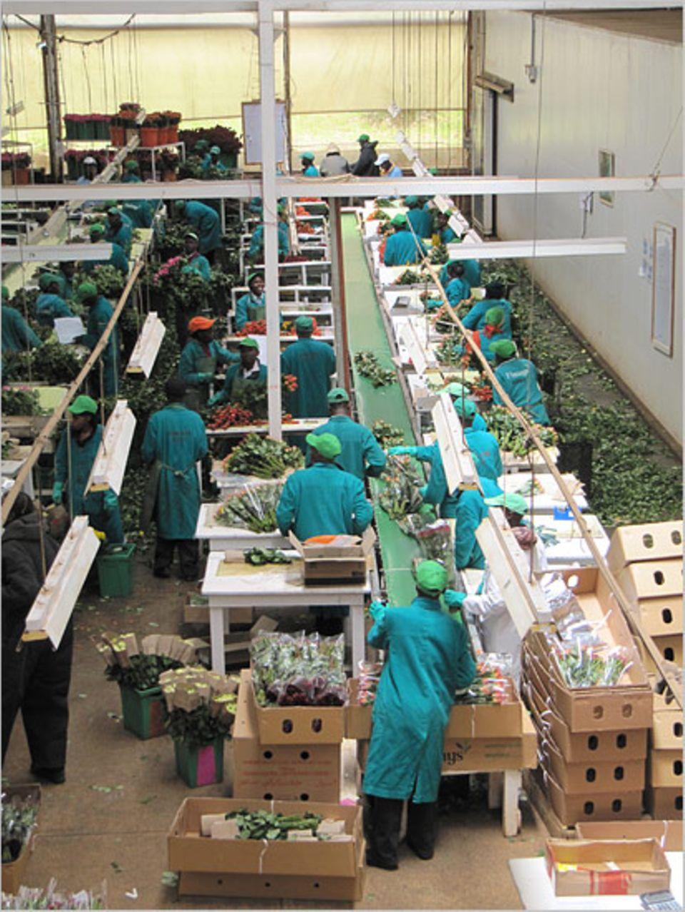 Die fairen Jobs im Rosenhandel sind begehrt. Nicht nur, weil die Arbeit über dem Mindestlohn bezahlt wird