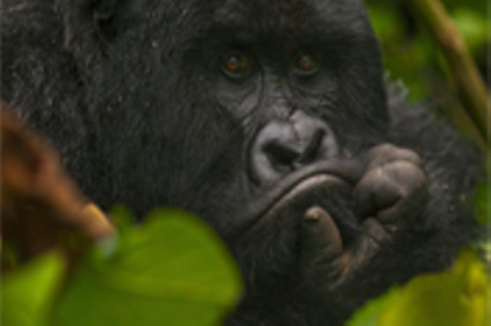Demokratische Republik Kongo: Gorilla-Nationalpark Virunga in Not