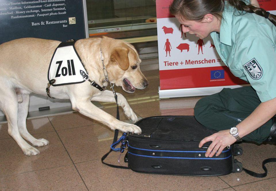 Aufgeregt kratzt Berry am Koffer. Für seine Hundeführerin ist das ein sicheres Zeichen dafür, dass hier ein seltenes Souvenir versteckt ist