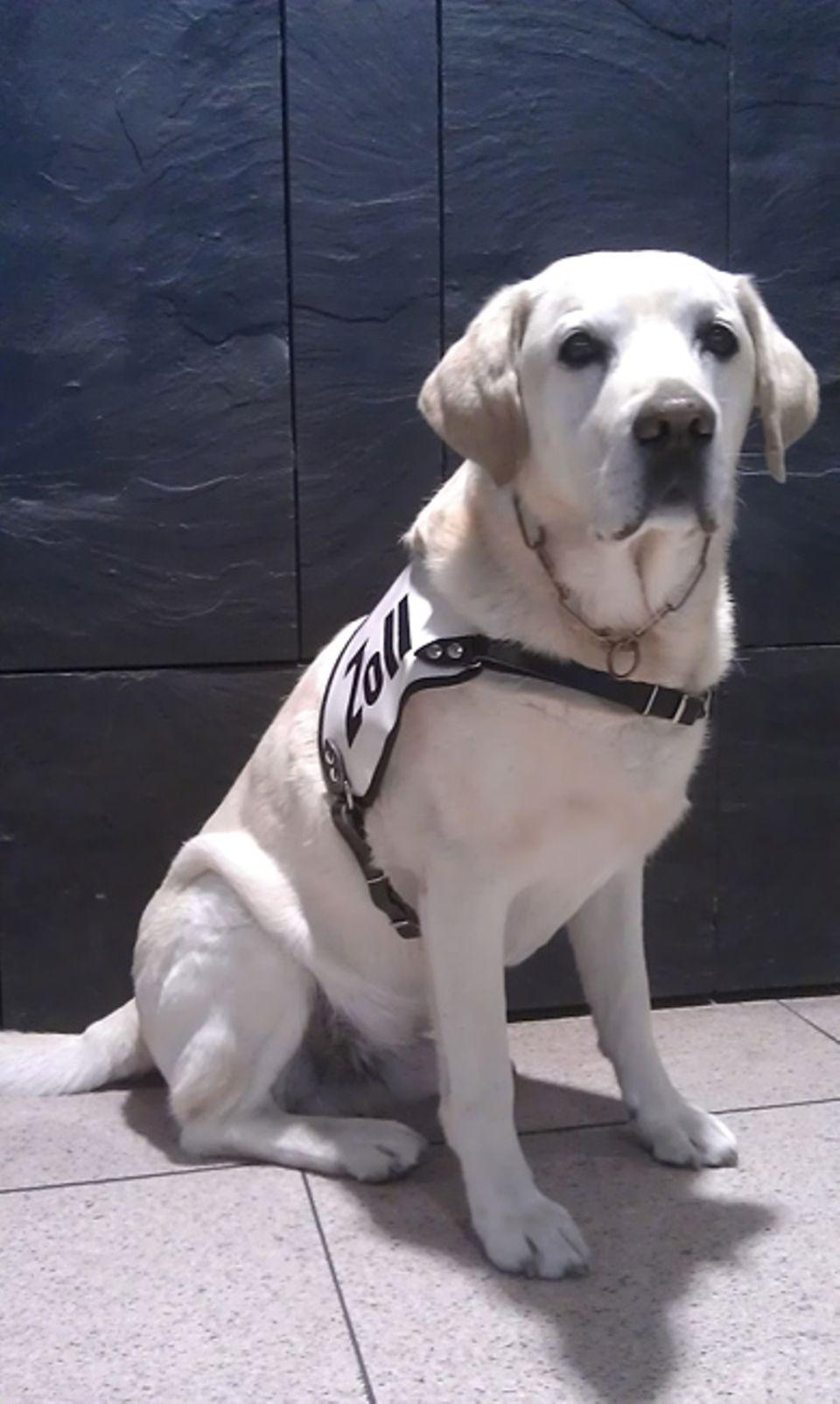 Auf ihn ist Verlass: Der Labrador Berry ist eine große Bereicherung für seine Kollegen vom Zoll