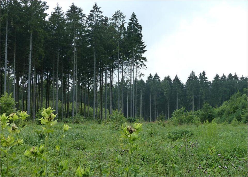 Umweltpolitik: Vielerorts prägen monotone Fichtenforste das Bild vom Wald - wie hier im Sachsenwald, in unmittelbarer Nachbarschaft zum Billetal