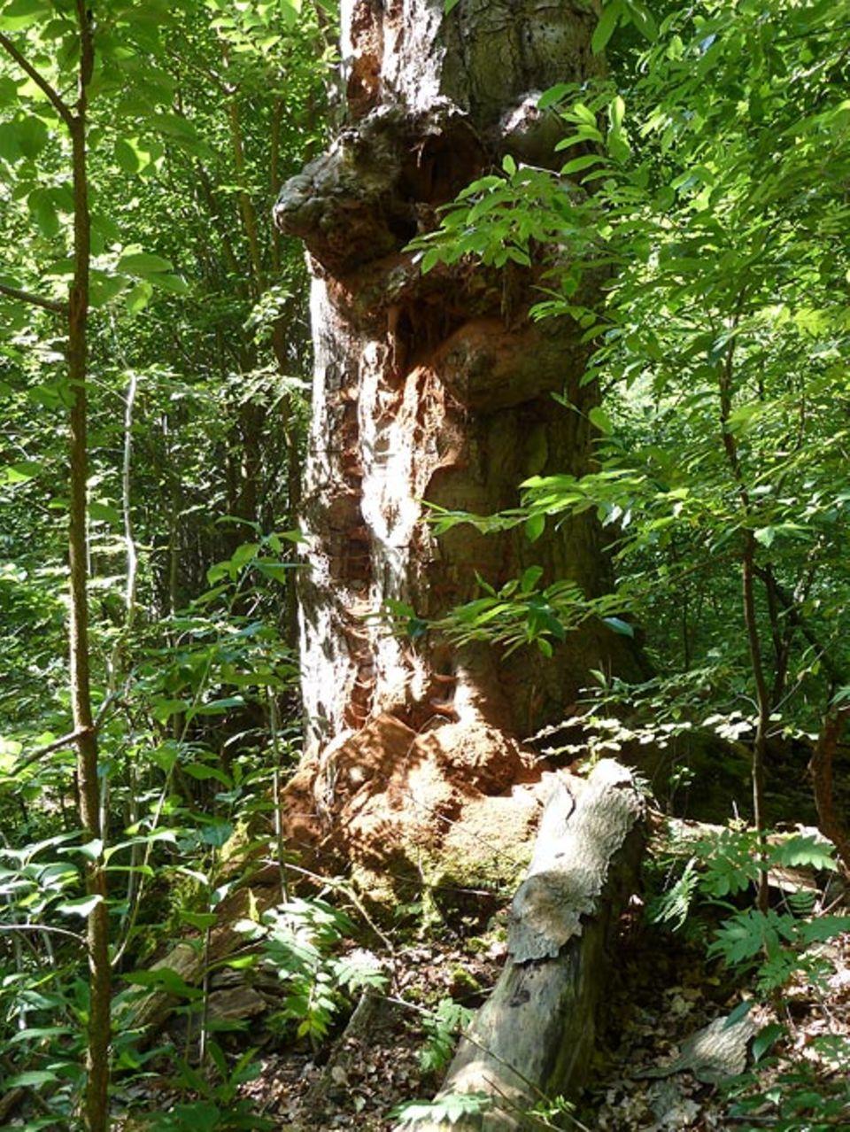 """Umweltpolitik: """"Sägemehl"""" am Fuß dieses toten Baumriesen zeugt von der Aktivität zahlloser Insekten und deren Larven"""