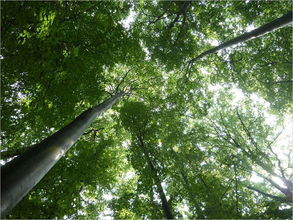 Umweltpolitik: Platz an der Sonne: Rotbuchen können bis zu 300 Jahre alt werden - und rund 40 Meter hoch. Wenn der Förster sie lässt