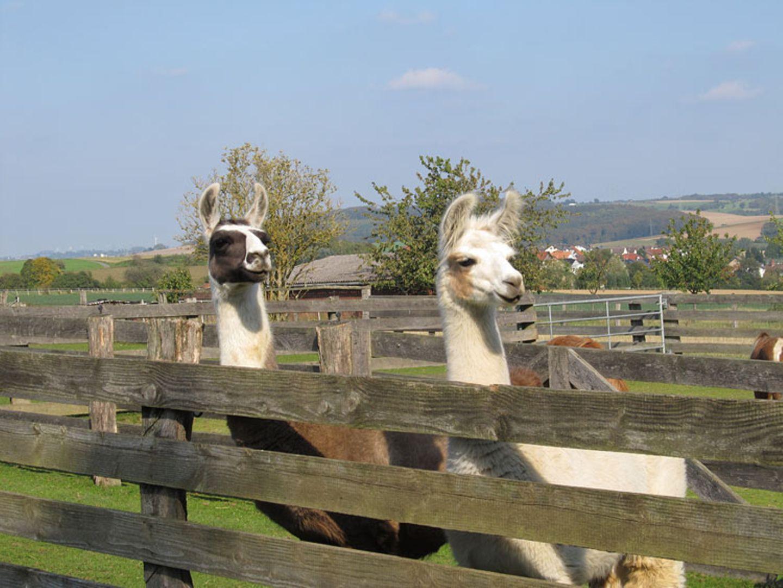 Kamele: Ganz interessiert schauen die Lamas Gammy (links) und Calypso (rechts): Was sie wohl heute auf dem Krähenhof erwarten wird?
