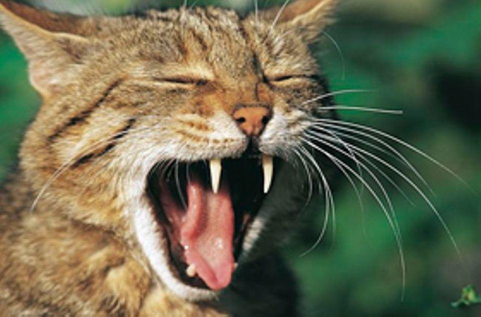 Die Wildkatze sieht unserer Hauskatze sehr ähnlich. Doch sie ist eine ganz eigene Art, die es schon sehr lange gibt