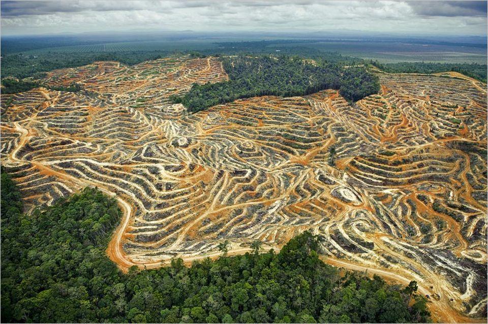 Lebensmittelproduktion: Für den Anbau von Ölpalmen (oben Terrassenfelder in Sarawak) werden große Regenwaldflächen vernichtet. Mehr als zehn Millionen Hektar Plantagen in Indonesien und Malaysia dienen bereits heute der Palmölproduktion