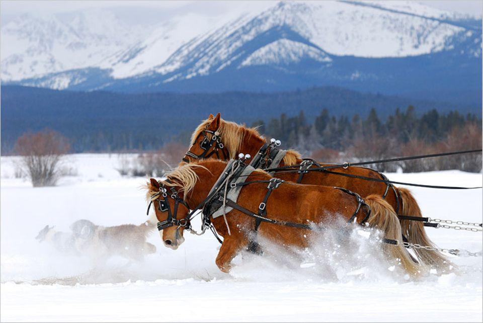 Redewendung: Diese beiden Pferde müssen sich ganz schön ins Zeug legen, um die Kutsche durch den hohen Schnee zu ziehen