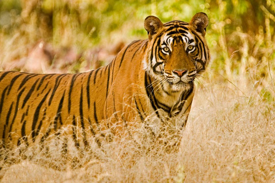 Jeder Tiger hat ein einzigartiges Streifenmuster. Daran kann man sie unterscheiden