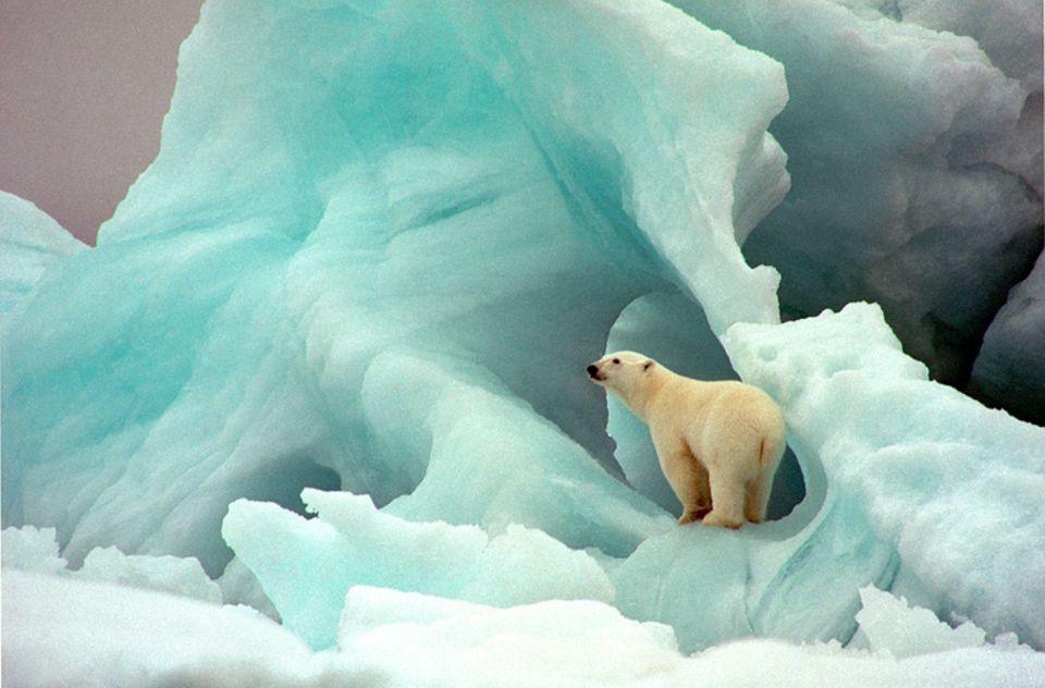 Eisbären: Das Schmelzen der Eisfläche gefährtet das Überleben der Eisbären