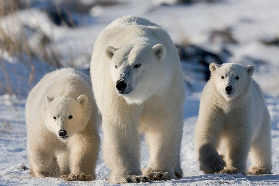 Eisbären: Eisbären gelten als gefährdete Art: Es gibt nur noch etwa 25.000 Exemplare weltweit